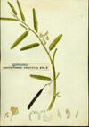 Fabaceae - Aeschynomene sensitiva