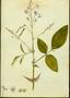 Fabaceae - Desmodium tortuosum