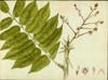 Fabaceae - Andira inermis