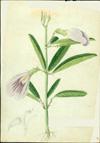 Fabaceae - Clitoria laurifolia