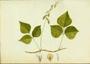 Fabaceae - Rhynchosia minima