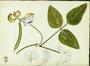 Fabaceae - Vigna adenantha