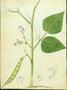 Fabaceae - Phaseolus vulgaris