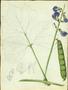 Fabaceae - Pachyrhizus erosus