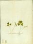 Oxalidaceae - Oxalis corniculata
