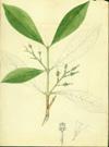 Malpighiaceae - Bunchosia glandulosa