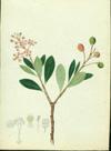 Malpighiaceae - Byrsonima lucida