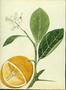 Rutaceae - Citrus x aurantium