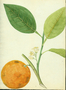 Rutaceae - Citrus sinensis