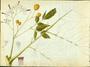 Meliaceae - Melia azedarach