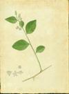 Euphorbiaceae - Argythamnia stahlii