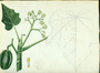 Euphorbiaceae - Jatropha curcas 'Brocade'