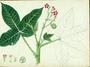 Euphorbiaceae - Jatropha gossypiifolia
