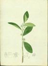 Euphorbiaceae - Argythamnia candicans