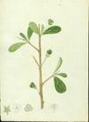 Euphorbiaceae - Adelia ricinella