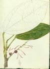 Euphorbiaceae - Alchornea latifolia
