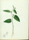 Euphorbiaceae - Acalypha chamaedrifolia