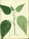 Euphorbiaceae - Acalypha bisetosa