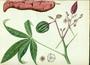 Euphorbiaceae - Manihot esculenta