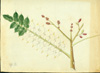 Anacardiaceae - Comocladia dodonaea