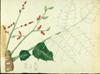Anacardiaceae - Comocladia glabra