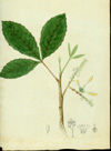 Sapindaceae - Thouinia striata