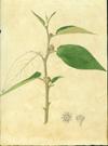 Rhamnaceae - Colubrina elliptica