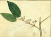 Rhamnaceae - Colubrina arborescens