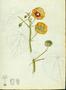 Malvaceae - Abutilon indicum