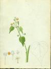 Malvaceae - Bastardia viscosa