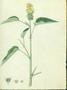 Malvaceae - Malvastrum americanum