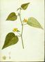 Malvaceae - Sida urens