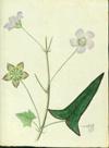 Malvaceae - Anoda acerifolia