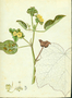 Malvaceae - Malachra capitata