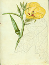 Malvaceae - Abelmoschus esculentus