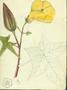 Malvaceae - Abelmoschus moschatus