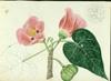 Malvaceae - Thespesia populnea