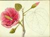 Malvaceae - Thespesia grandiflora
