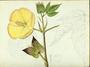 Malvaceae - Gossypium barbadense