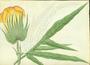 Malvaceae - Gossypium hirsutum