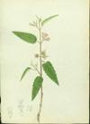 Sterculiaceae - Melochia pyramidata