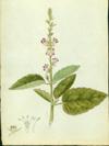 Sterculiaceae - Melochia villosa
