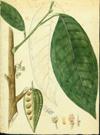 Sterculiaceae - Theobroma cacao