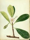 Clusiaceae - Clusia minor