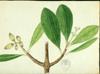 Clusiaceae - Clusia gundlachii