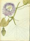 Passifloraceae - Passiflora serratodigitata