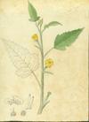 Loasaceae - Mentzelia aspera