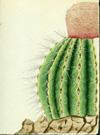 Cactaceae - Melocactus intortus