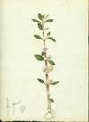 Melastomataceae - Acisanthera quadrata