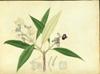 Melastomataceae - Tetrazygia elaeagnoides